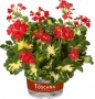 Pelargonium Toscana Specials zonale Variegated Happythought Red